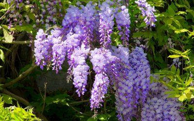 Blooming wisteria vine