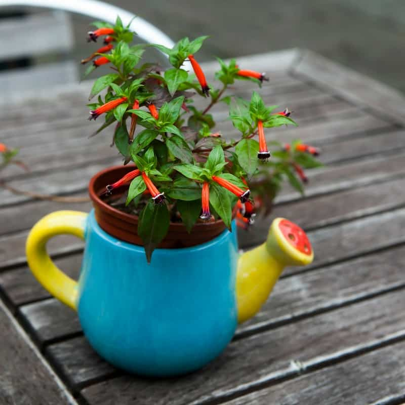 Cuphea ignea in colorful teapot as a decoration of wooden table: also known as cigar plant, cigar flower, firecracker plant, or Mexican cigar