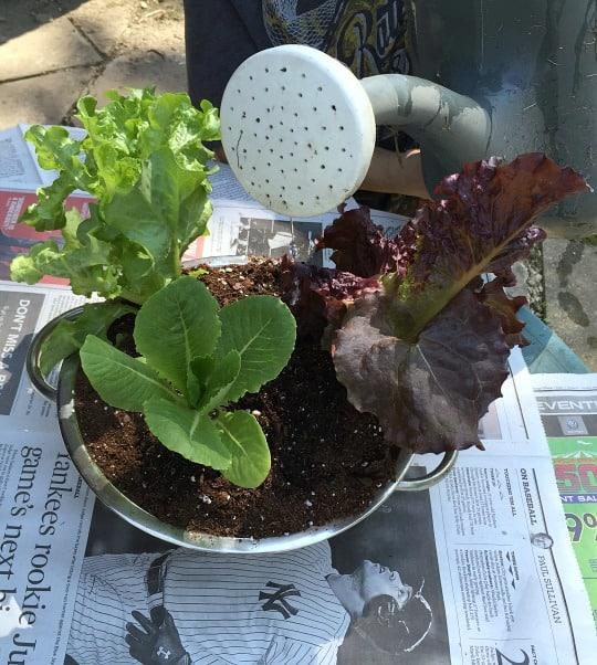 Colander salad garden