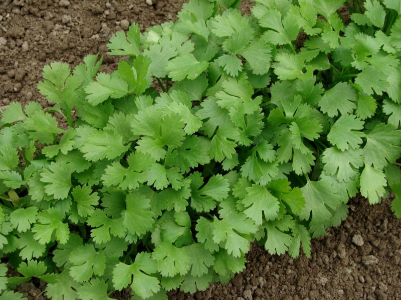 Coriander growing in the garden