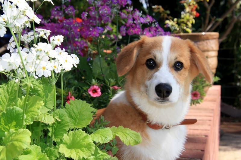 Cute corgi puppy among flowers