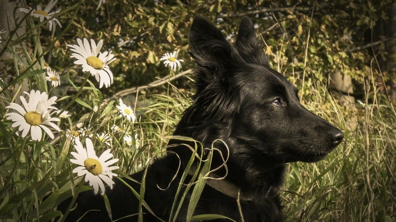 Black dog and white daisies