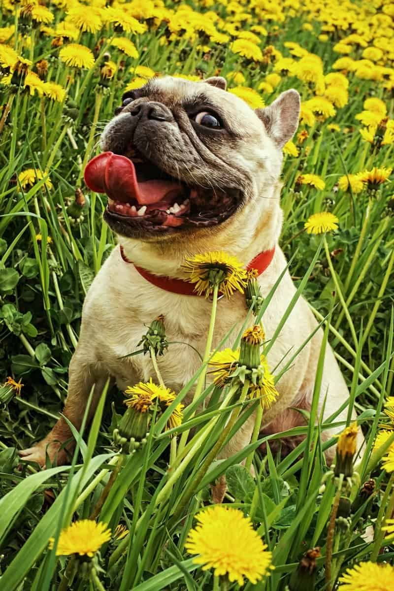 Dog in dandelion field