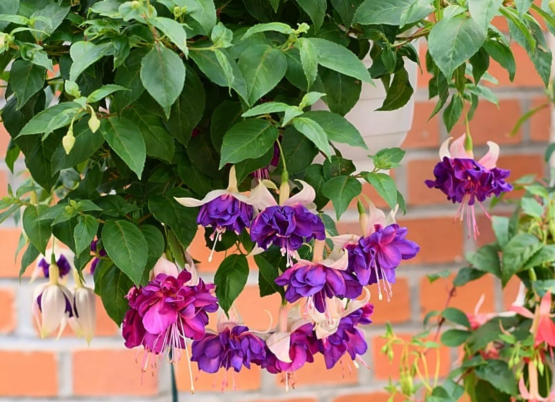 hanging purple fuchsia blossoms