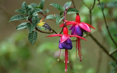 Beautiful blue adn red fuchsia flowers