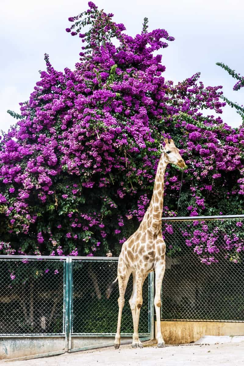 Giraffe in a garden at the Lisbon zoo