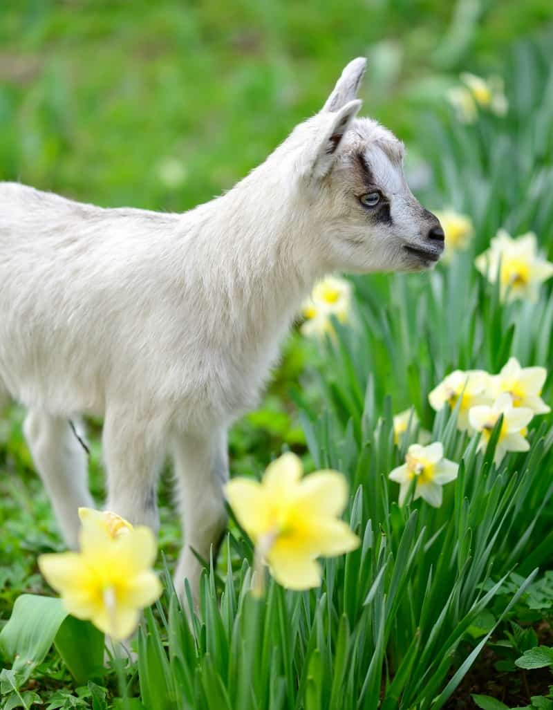 Goat and daffodils