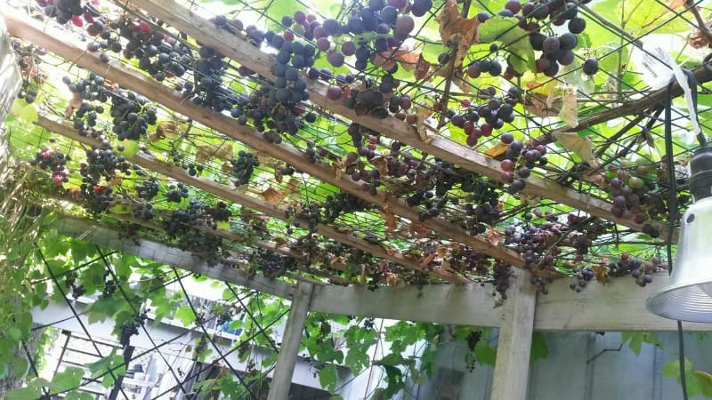 Grapevine full of ripe grapes. YUM!