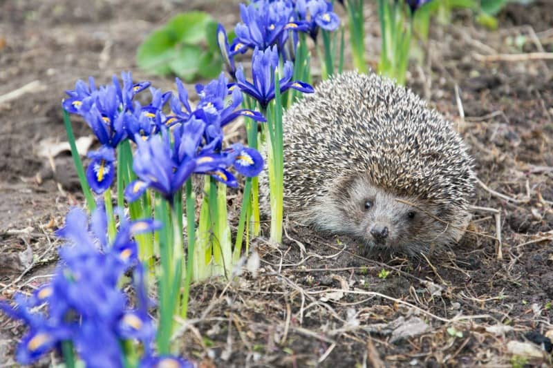 Hedgehog near purple iris flowers