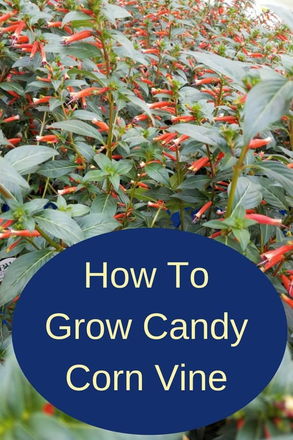 Growing candy corn vine (also known as cigar plant, cigar flower, firecracker plant, or Mexican cigar) is very easy. You can grow it outside, in a shaded area, or indoors in containers for almost year-round flowers. This vine is a beautiful perennial that will reseed itself and will grace your garden for years to come.