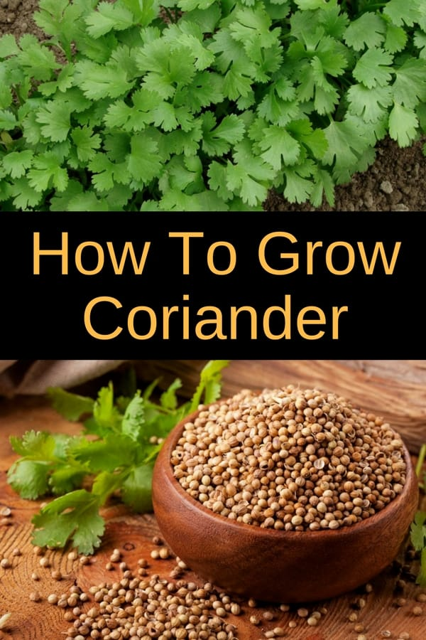 Learn how to grow coriander in your garden, or in pots. Growing coriander is easy and rewarding, as you'll be able to use it in your cooking. Coriander, also known as Chinese parsley or cilantro is also great at keeping bugs away form your vegetable garden.