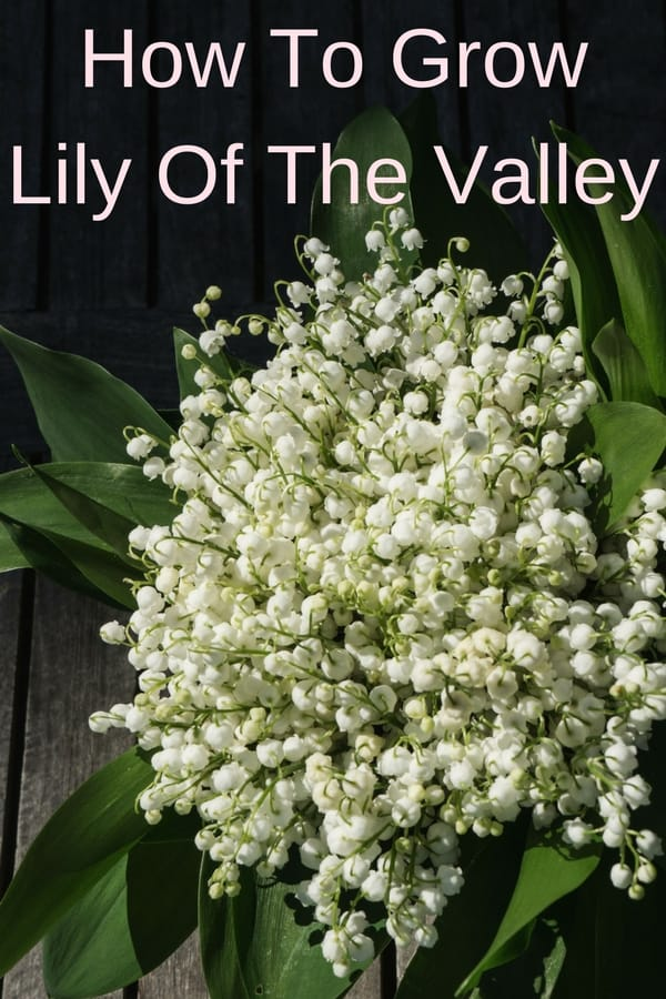 One of the most beautiful wild flowers, lily of the valley, is the perfect shade ground cover. Learn how to grow this delicate but hardy flower in your backyard and in pots indoors. Growing lily of the valley is easy and they will keep on flowering for years to come. The fragrance is unbelievable! And a potted lily of the valley is the perfect gift for Mother's day ;)