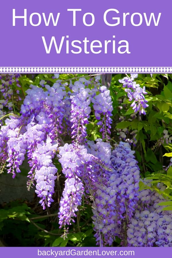 Wisteria vines are full of lavender-blue flowers that cascade from the branches in a spectacular display of beauty. Learn how to grow wisteria from seed and cuttings, and what kind of care it needs to thrive.