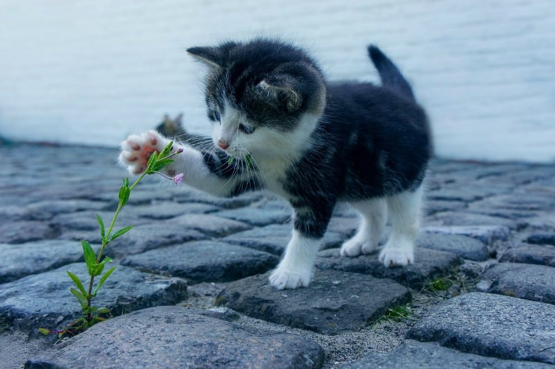 Kitty playing with a flower