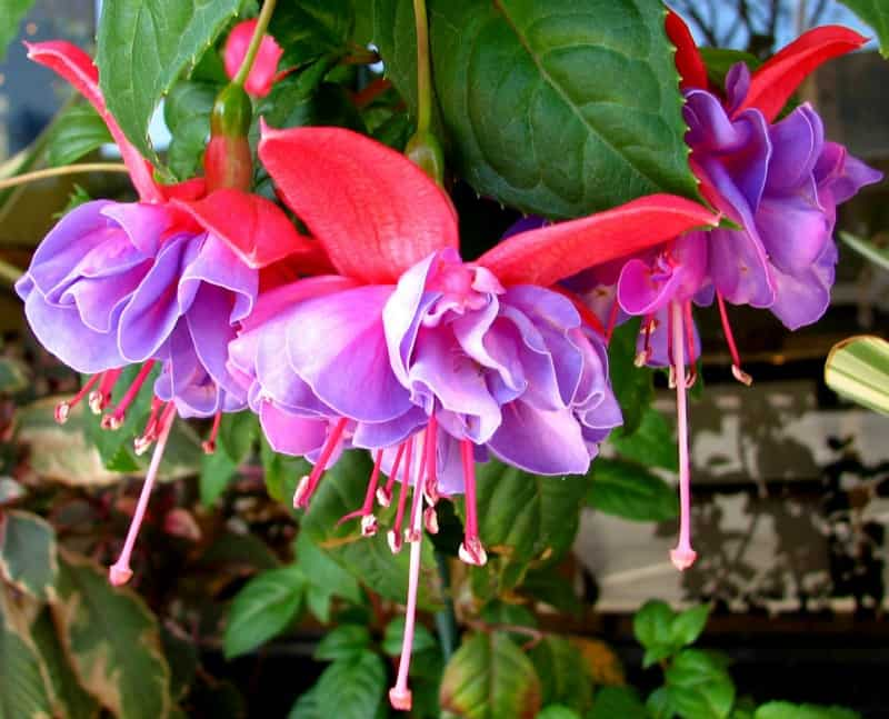 Lavender and pink fuchsia