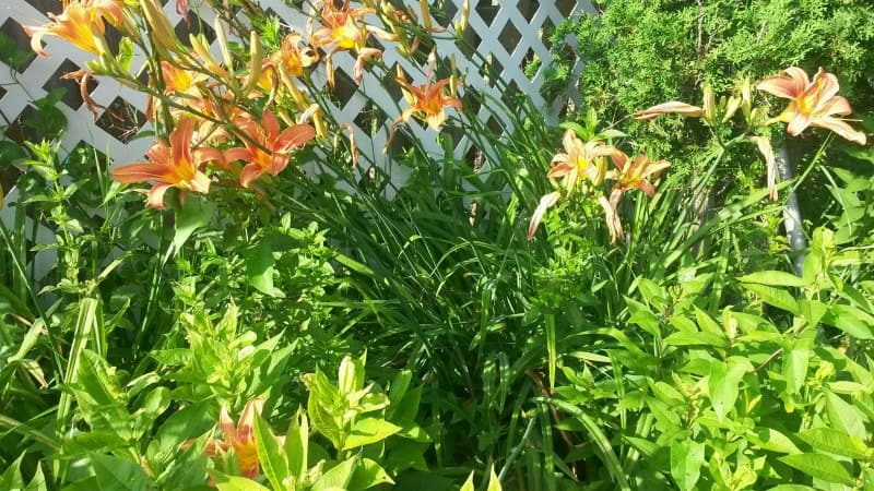 Beautiful lilies at the back of the garden