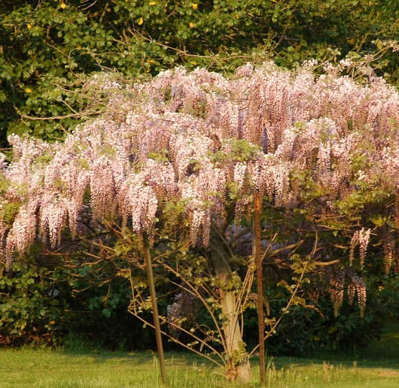 Pink wisteria tree