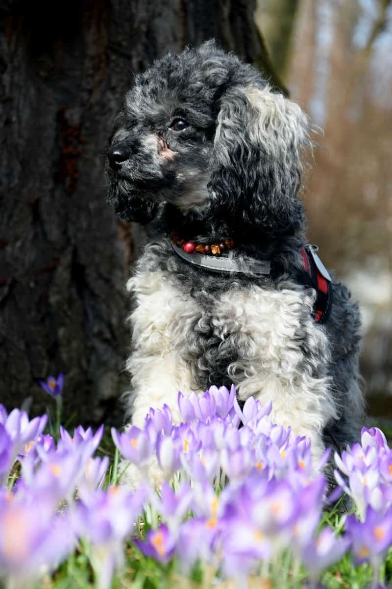 Poodle in crocus patch