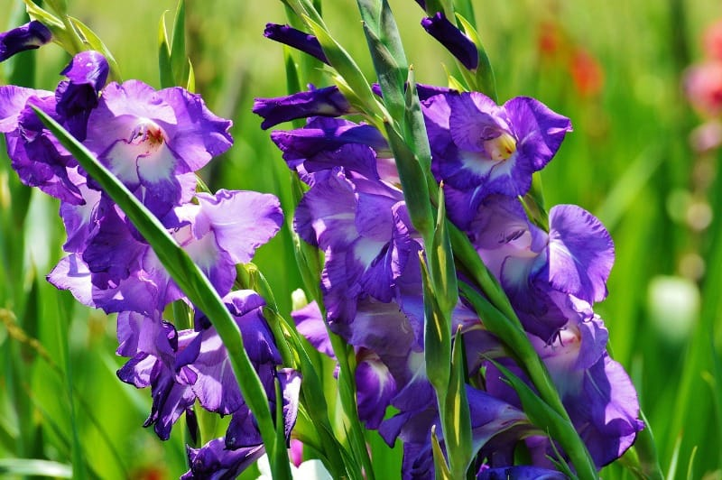 purple gladiolus flowers