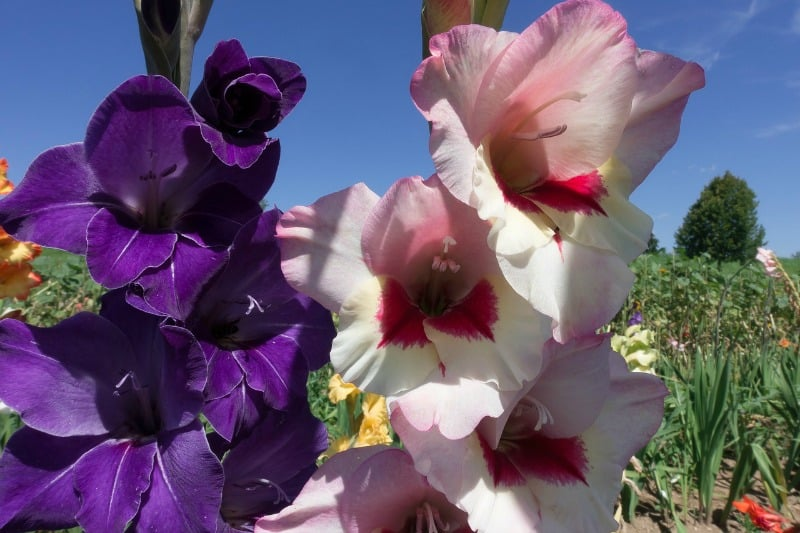 Purple and pale pink gladiolus