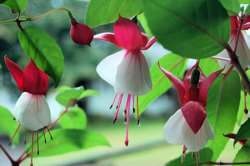 Red and white fuchsia