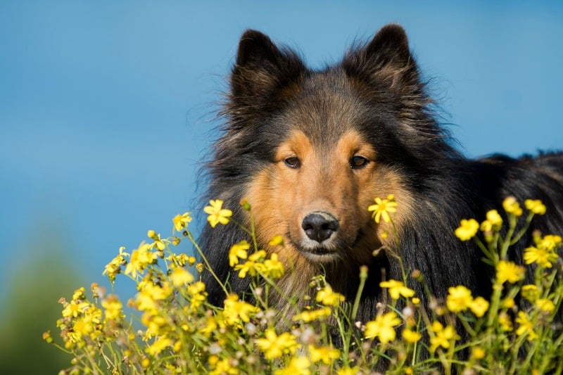 Sheltie in a field of flowers
