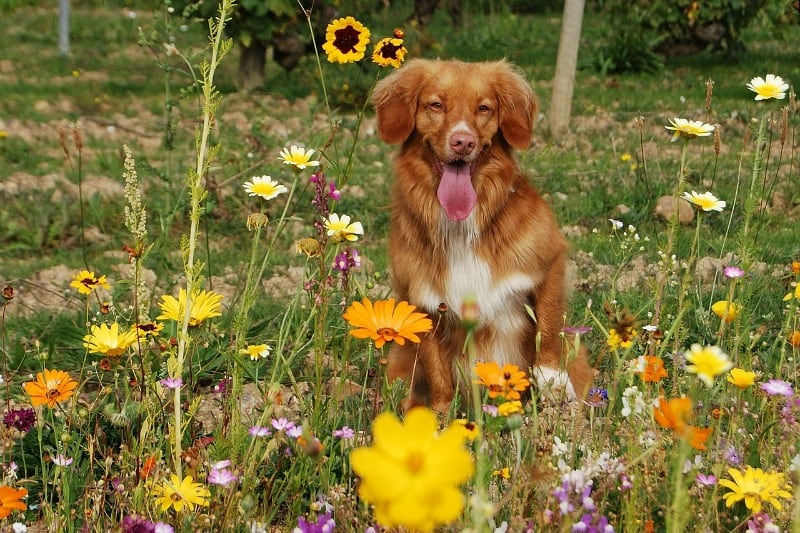 Sleepy dog in a colorful flower garden