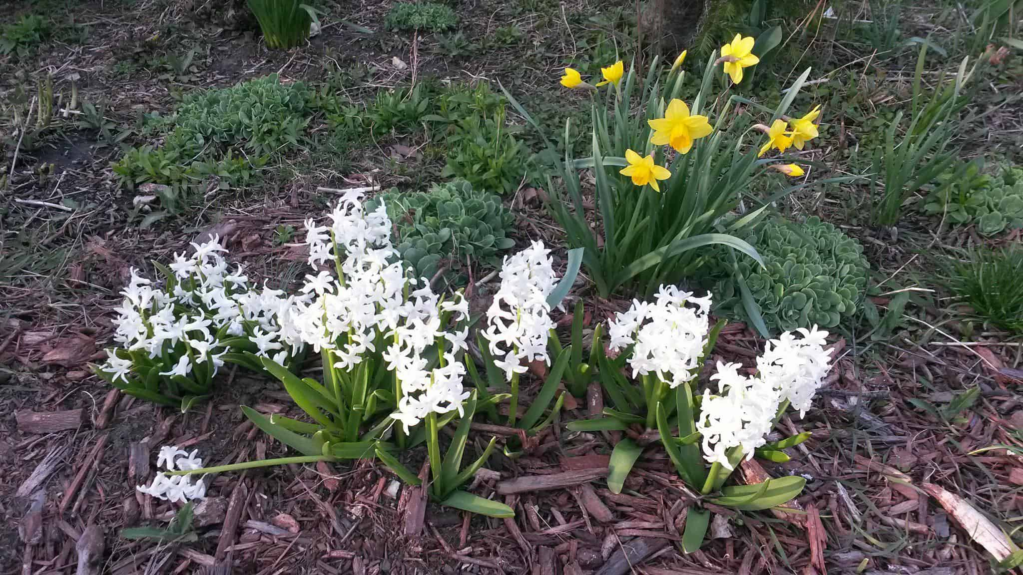 Spring flowers: white hyacinth and daffodils