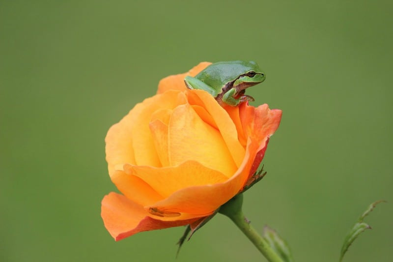 Tree frog on a gorgeous orange rose