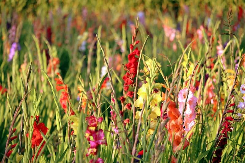 Beautiful field of multicolored gladiolus