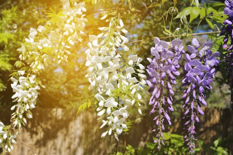 Flowering purple and white wisteria vine.