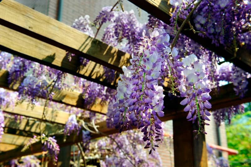 Wisteria vine hanging from a trellis