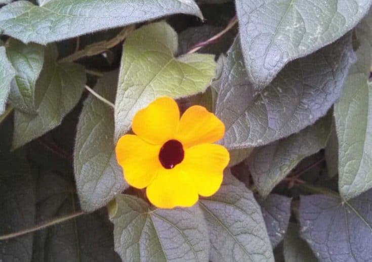 Black Eyed Susan Vine Growing Tips For A Beautiful Burst Of Color