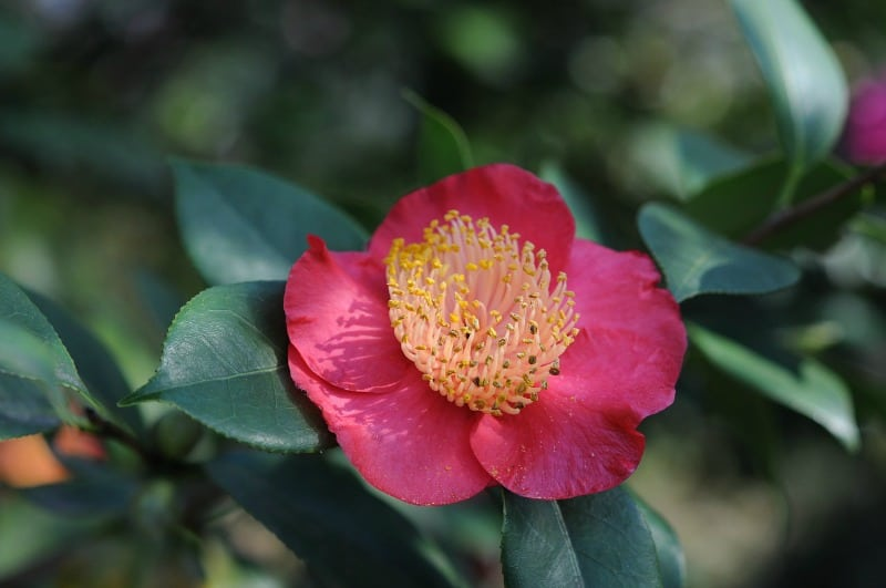 Camellia flower featured in the Locarno expo