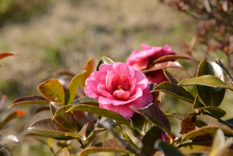 Beautiful camellia sasanqua bush