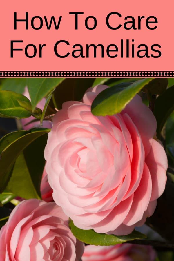 close up of strawberry pink camelia flower