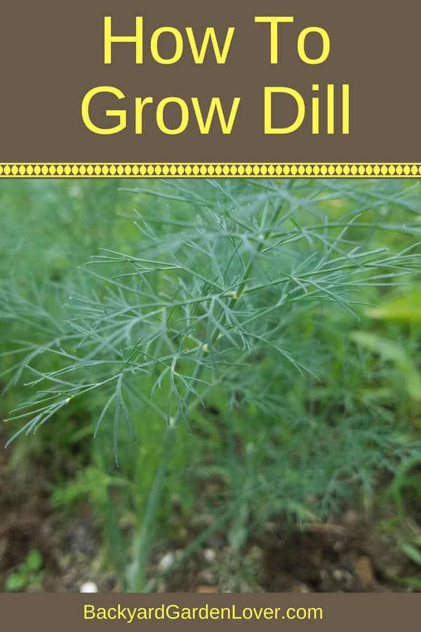 Want tips on how to grow dill? It's easy to grow this herb from seed straight in the garden or in a pot. Dill doesn't grow well indoors, but you can grow it in a windowsill box and enjoy its flavor all summer long.