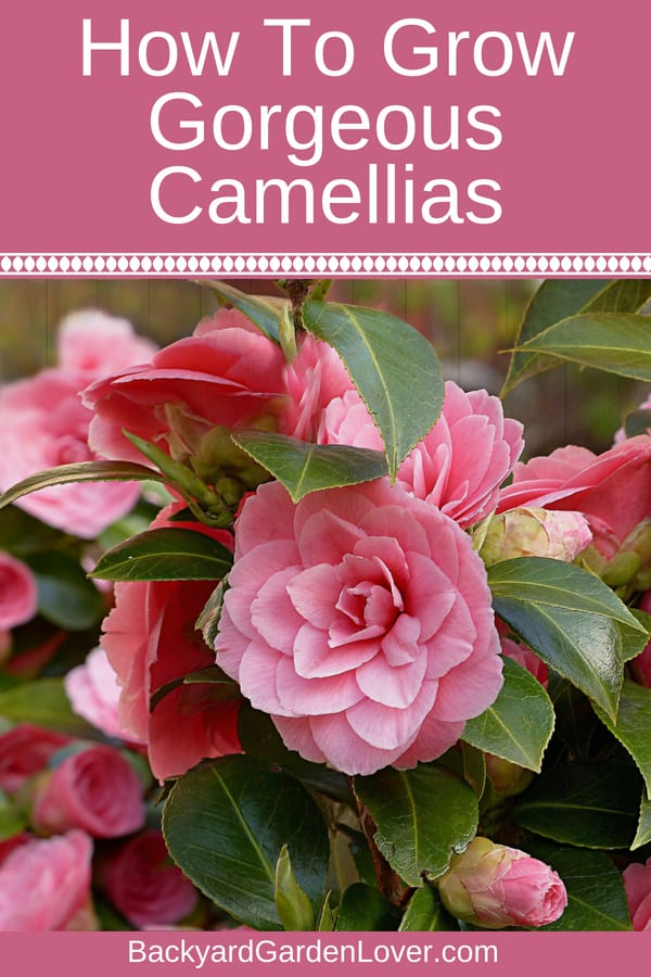 Here's how to grow beautiful camellia plants in your garden. The gorgeous camellias come in many gorgeous colors: from pale pinks to red, white and even yellow. It's an easy to care for flower bush that will reward you with the prettiest flowers in the winter and early spring. #camellias #flowers #flowergarden #gardening #landscapingideas #landscape