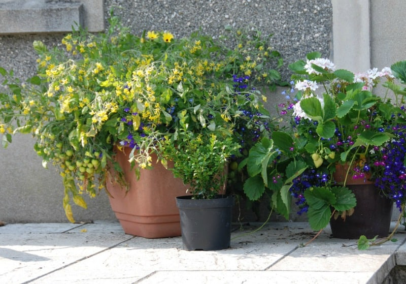 Patio pots with tomato and strawberry plants