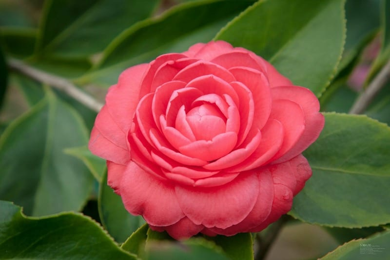 How To Care For Camellias (Camellia Japonica) & Lots Of