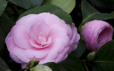 Gorgeous pink camellia japonica flower