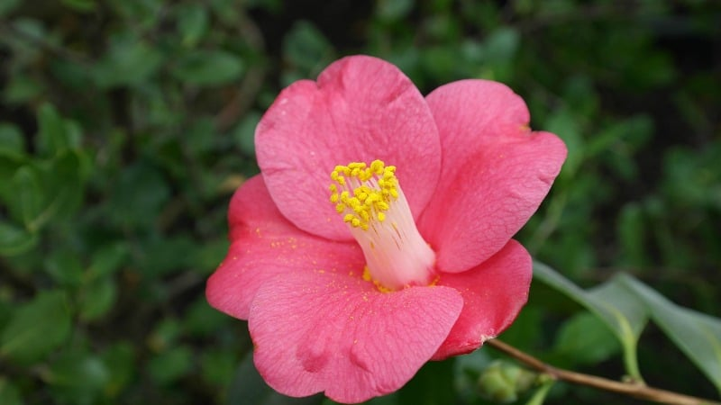 Pink camellia with a yellow center