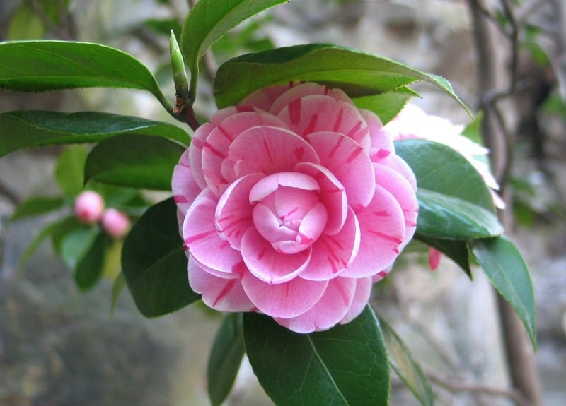 Pink striped camellia flower