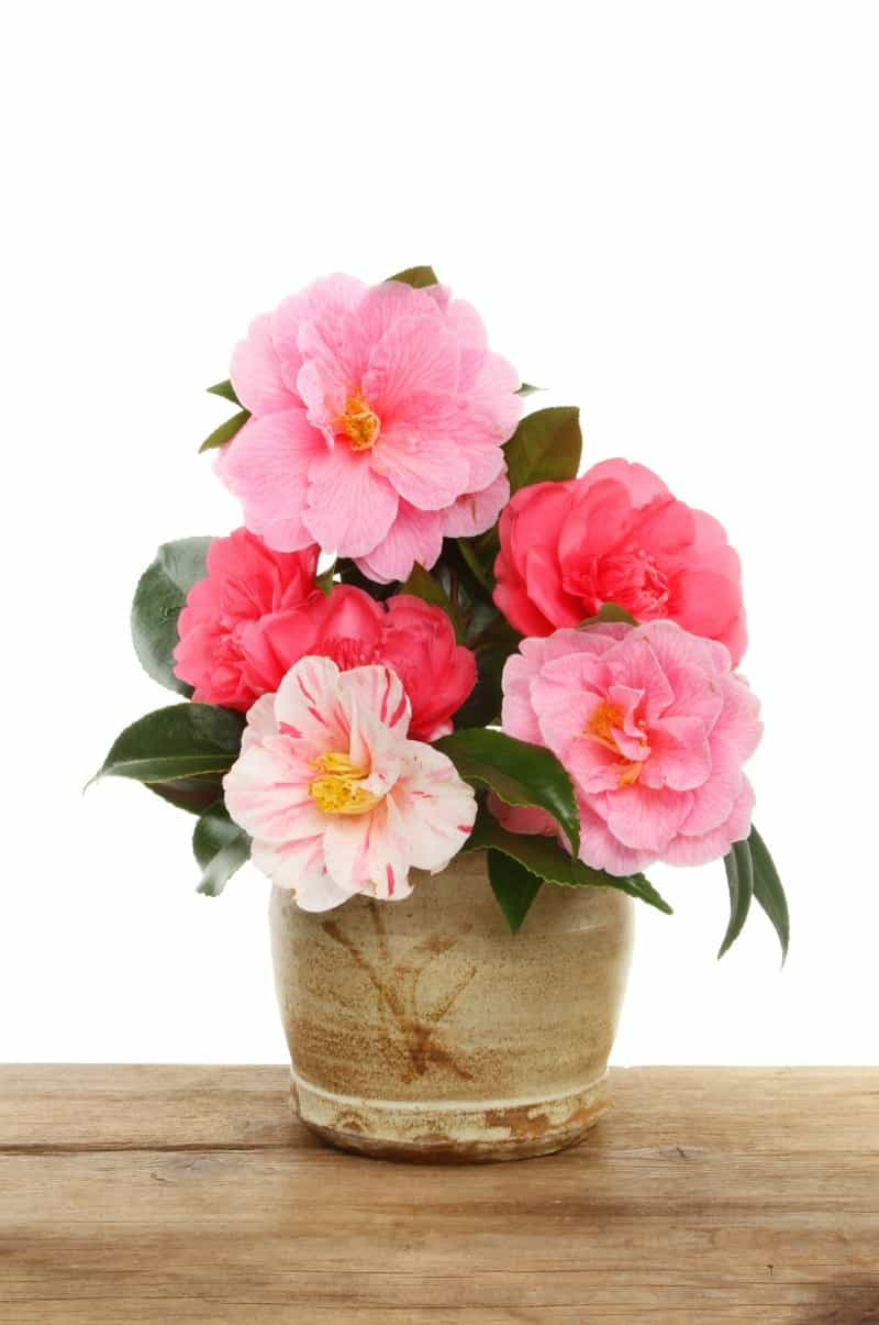 Arrangement of Camellia flowers in a clay pot on a wooden board against a white background
