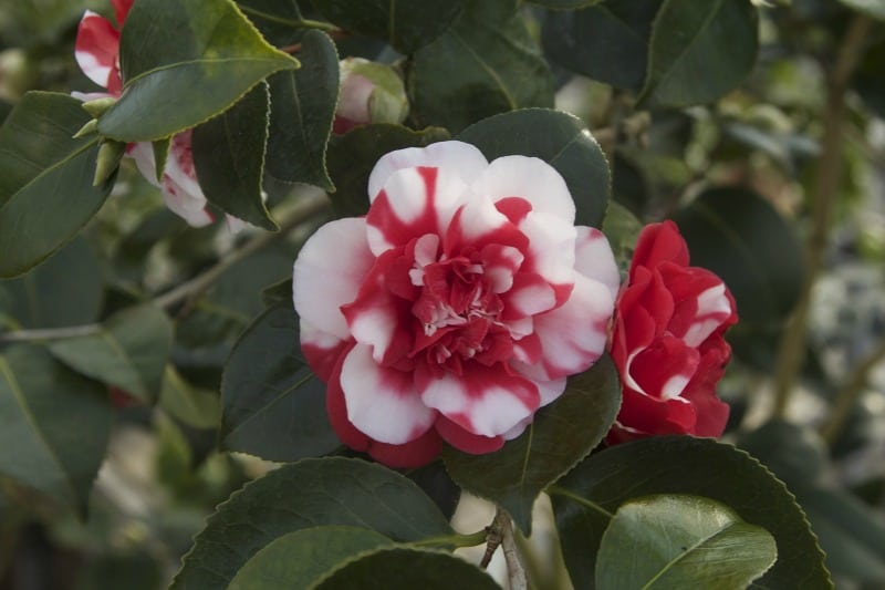 Red and white camellia flowers