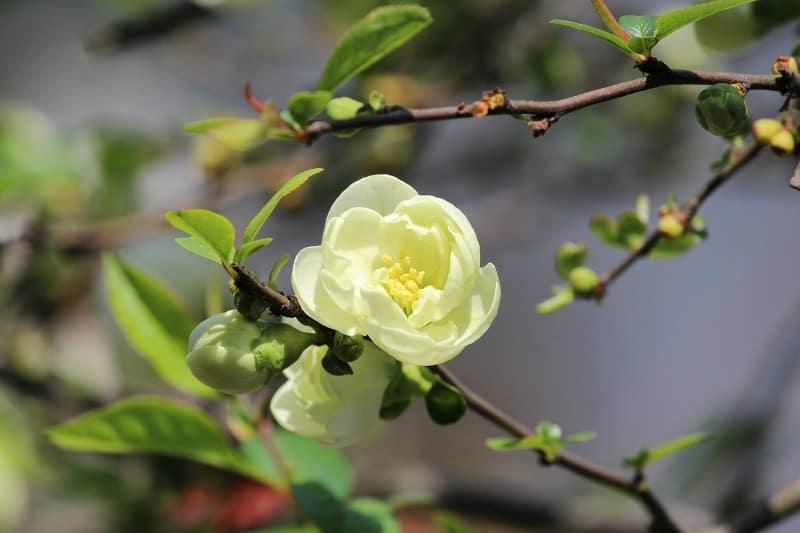 Yellow camellia branch