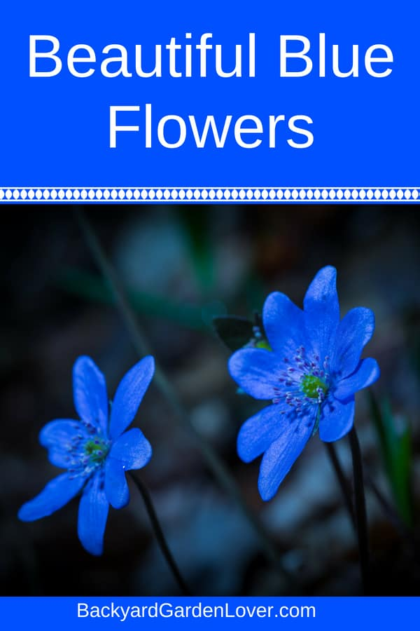 Do you want some beautiful blue flowers for your garden? While blue flowers are more rare, it doesn't mean your landscape has to go without. Here's a list of small and large, deep and pastel blue flowers, you can plant in window boxes or along walkways, in a container on your porch, or in a special summer garden: forget me not, hydrangeas, morning glories and orchids are just a few from this list.