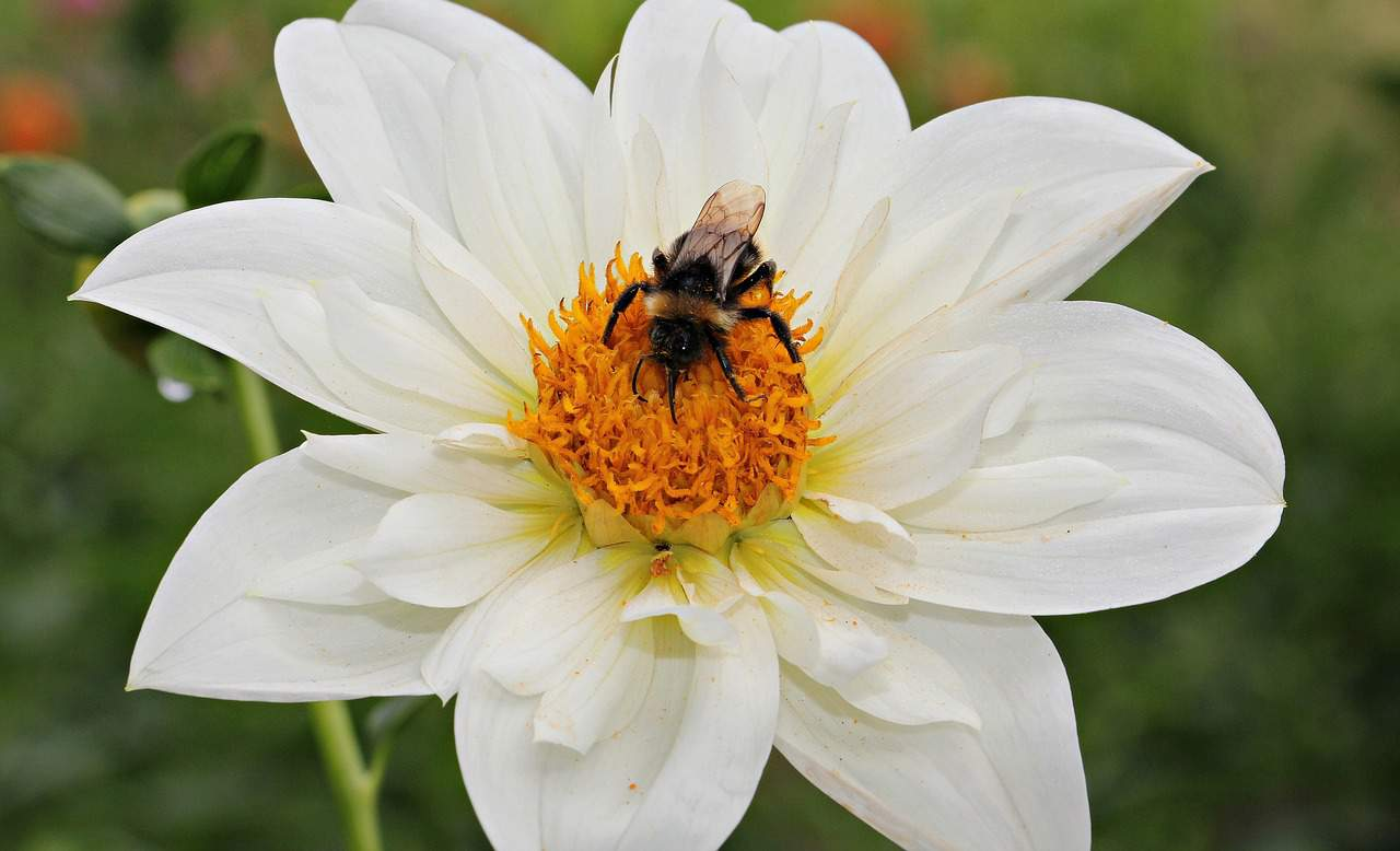 Bee on a white dahlia