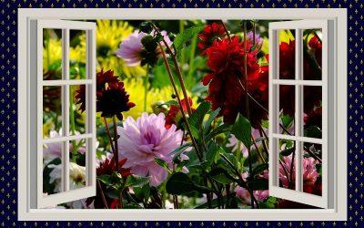 Dahlia flowers in front of an open window