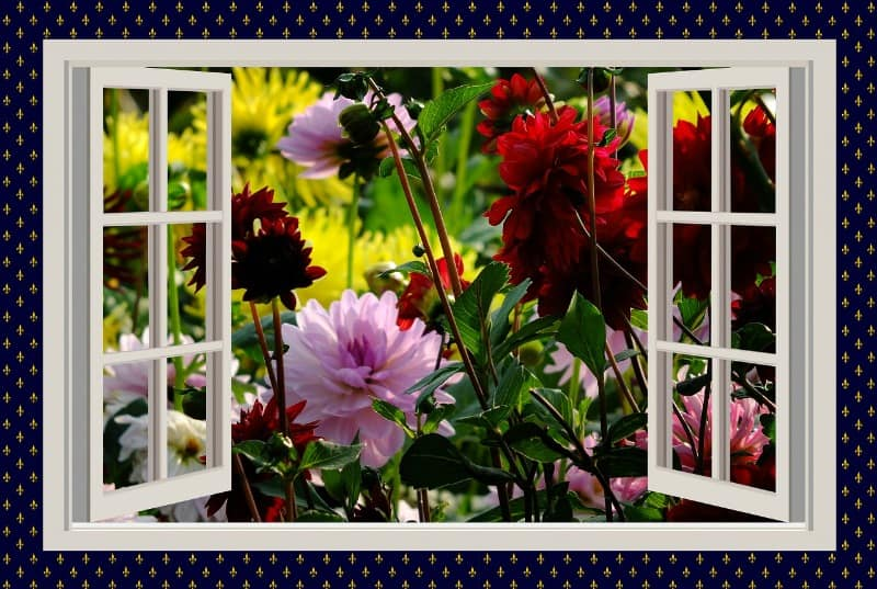 Dahlia flowers in front of an open window